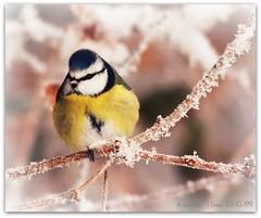 Frosty blue tit (zweiblumen) Tags: uk winter england bird nature shropshire hoarfrost wildlife bluetit picnik birdwatcher cyanistescaeruleus paridae nbw canoneos50d zweiblumen sigma150500mm churchaston canon430exii qualitygold