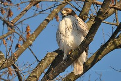 focus (christiaan_25) Tags: blue trees winter sky cold bird nature sunshine eyes december adult hawk watching hunting feathers sunny raptor perch stare perched predator focused windblown searching redtailedhawk buteojamaicensis mortonarboretum lisleil