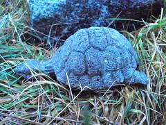 Solstice Turtle