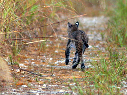 Bobcat 20101223
