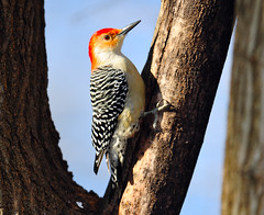 Red-Bellied Woodpecker (Brian E Kushner) Tags: red male bird birds animals newjersey backyard woodpecker nikon wildlife brian nj belly f4 bellied redbellied audubon melanerpescarolinus birdwatcher kushner backyardbirds 600mm nikor d3x maleredbelliedwoodpecker afsnikkor600mmf4gedvr nikond3x audubonnj bkushner brianekushner nikon600mmf4afsvr
