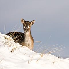 (caroline_1985) Tags: winter snow nature dunes sneeuw natuur deer duinen awd hert damadama amsterdamsewaterleidingduinen