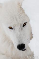 - Wait and See - (Joshua Garay) Tags: schnee winter snow nature animals zoo tiere wolf natur wolves carnivores hanau wildpark canislupus raubtiere polarwolf wlfe sugetiere tundrawolf arcticwolf polarwlfe altefasaneriekleinauheim