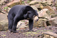 Malayan Sun Bear or Honey Bear (Foto Martien) Tags: bear holland netherlands beer dutch zoo southeastasia arnhem nederland burgers veluwe burgerszoo dierentuin gelderland dierenpark amimal rimba honeybear malayansunbear sunbear beertje smallbear zuidoostazi maleisebeer honingbeer helarctosmalayanus burgersdierenpark beruangmadu a550 ursusmalayanus smallestbear kleinebeer martienuiterweerd martienarnhem kleinstebeer sony70300gssmlens sonyalpha550 mygearandme martienholland fotomartien
