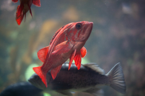 Grumpy red fish