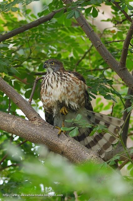 鳳頭蒼鷹-亞成 3 Crested Goshawk (Juvenile)
