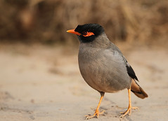 OK enough of greetings let us move forward (Rajiv Lather) Tags: bankmyna acridotheresginginianus maina myna starling indian bird newdelhi birding birdwatching birdwatcher birder aves nature sturnidae passeriformes avifauna india birds photo photograph image birdphotography camera canon mynah mynas portrait bokeh gursal plumage hairdo eveninglight avianexcellence