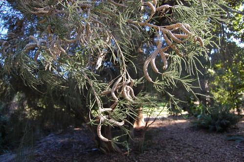 Melaleuca huegelii - Chenile Honeymyrtle.