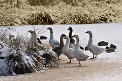 """ice """"tea""""time (Gerda D.) Tags: vogels ganzen eenden tschipke"""
