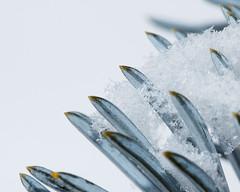 Gentle Snow (dibytes) Tags: winter snow snowflakes collingwood january 365 needles coloradobluespruce 3652011