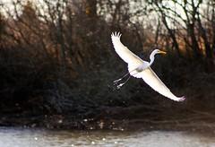 Takeoff! (Christopher Works) Tags: lake bird nature water delete9 delete5 delete2 delete6 delete7 save3 delete8 delete3 save7 delete delete4 save save2 save4 arkansas save5 save6 millwood deletedbythehotboxuncensoredgroup