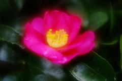 Sasanqua (h orihashi) Tags: flower macro japan pentax 日本 softfocus 花 k5 naturesfinest coth supershot bej ソフト fineartphotos diamondclassphotographer flickrdiamond citrit theunforgettablepictures coth5 pentaxk5