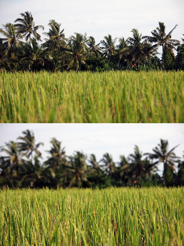 rice field in Ubud, Bali