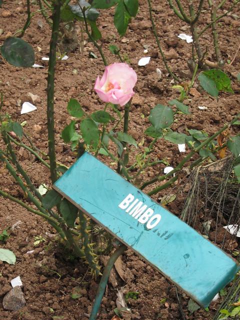 Rose Garden: Bimbo
