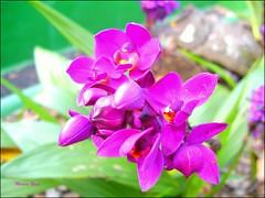 PICT0008 (Marcia Rosa ()) Tags: pink flower fleur rose bokeh flor rosa mimamorflowers