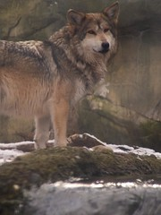 Mexican Gray Wolf (contemplicity) Tags: pictures winter ohio arizona usa dog snow newmexico dogs animals america geotagged photography zoo photo midwest wolf pretty unitedstates photos pics cleveland picture pic photographs photograph northamerica oh lobo digitalcamera snowing animalplanet graywolf wolves mexicanwolf southernarizona mexicangraywolf canislupusbaileyi clevelandmetroparkzoo zoosofnorthamerica wlny:geotagged=1 wlny:species=s3j wlny:trip=t10a wlny:place=pa3 wlny:photo=ibvz