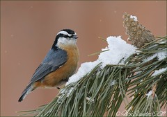 Red-breasted Nuthatch (Nick Saunders) Tags: winter snow pine saskatchewan pinecone snowfall nuthatch redbreastednuthatch