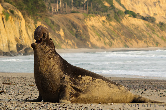 Bull northern elephant seal, Año Nuevo State Reserve -- Pat Ulrich Wildlife Photography