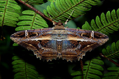 Witch (ggallice) Tags: park parque insect ecuador amazon rainforest wildlife moth lepidoptera national noctuidae nacional buteo letis yasuni taxonomy:genus=letis taxonomy:binomial=letisbuteo