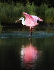 Roseate Spoonbill (dbullens) Tags: pink reflection nature water birds florida ngc saltmarsh floridakeys spoonbills spoonbill roseatespoonbill tavernier bigmomma specanimal natureselegantshots thechallengefactory thebestofmimamorsgroups