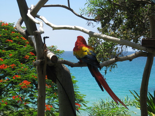 a lazy parrot at Mauna Kea Beach Resort