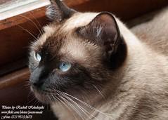 Christal (Rachell Kolodsiejski) Tags: cats gatos felinos animais fotgrafarachellkolodsiejski gatosdeapartamento cmeranikond200 gatosdeestiamo