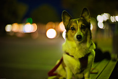 night stroll (moaan) Tags: leica travel light dog travelling digital 50mm dawn corgi dof bokeh f10 utata noctilux turnpike welshcorgi taillight daybreak m9 servicearea 2011 pochiko leicanoctilux50mmf10 leicam9 gettyimagesjapanq1 gettyimagesjapanq2