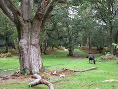 Matley Wood, New Forest NP, Hampshire, England (east med wanderer) Tags: wood england horse forest nationalpark oak hampshire holly pony newforest beech lyndhurst matleywood