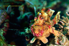 Master of Camouflage (kayak_no1) Tags: nikon d800e nauticamhousing 105mmvr diopter ysd1 subsee10 underwater underwaterphotography macro supermacro diving scubadiving uw lembehstrait indonesia camouflage wartyfrogfish lure