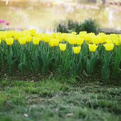 tulip n_2 (na26ottobre) Tags: flower tulip filmphotography squarephotography 6x6 outdoor plant rolleiflexsl66
