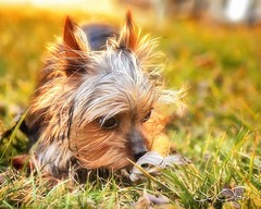 The First Time I Felt Spring (J. Olan Photography) Tags: yorkie yorkiepup petphotography springtime animals pets dogs puppy puppies outdoors outdoorphotos yorkshireterrier canon6d 24105mml howtophotographpets domesticlife backyard