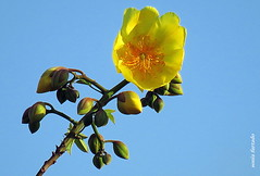 Quinta-flower (sonia furtado) Tags: quintaflower flower flor soniafurtado soniafurtao donasins pb ne brasil brazil nanaturezainnature