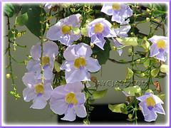 Lavender-blue flowers of Thunbergia laurifolia (Blue Trumpet Vine, Blue Sky Vine, Laurel-leaved Thunbergia, Laurel Clock Vine), shot 22 Nov 2010