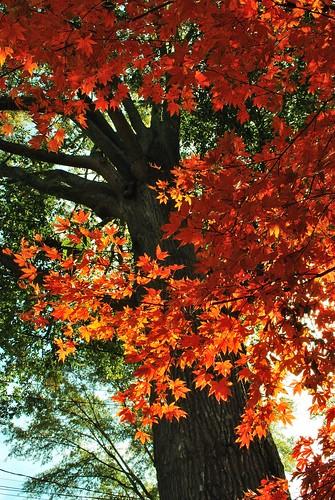 フリー写真素材, 自然・風景, 樹木, カエデ科, カエデ・モミジ, 紅葉, アメリカ合衆国,