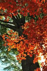 [フリー画像] 自然・風景, 樹木, カエデ科, カエデ・モミジ, 紅葉, アメリカ合衆国, 201011270500