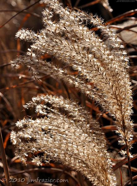 Miscanthus sinensis 'Strictus' - Porcupine Grass