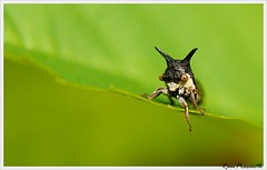 Treehoppers (FLASH MEDIA CREATIONS) Tags: india macro birds advertising photography spider interesting nikon fashionphotography wildlife creative insects bee grasshopper prey ram hopper gree tamilnadu leafhopper coimbatore eater designing professionalphotography foodphotography cbe productphotography greenbeeeater fmc froghopper industrialphotography treehoppers advertisingphotography ramprasanth jewelleryphotography photographycompany designinglogo flashmediacreations productphotographyincoimbatore industrialphotographyincoimbatore professionalphotographysolutions photographyprintinglogo coimbatoreweb ramprasanthphotography