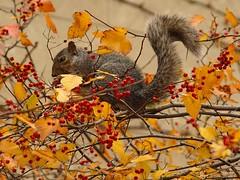 Chicago Squirrel (Explored) (joecrowaz) Tags: city wild arizona chicago color nature phoenix animals squirrels olympus michiganave explore zuiko e510 inspiredbylove 18180mm rawdevelopment anawesomeshot olympusmaster2