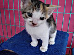 adotado (sosgatinhos) Tags: rescue pet cats cat furry kitten feline chat kitty fluffy kittens gato calico kitties tricolor felino neko shelter fofo filhote bicho katz adoption gatinho gatinhos adoo peludo adote abrigo animalwelfare catlover trica sosgatinhos