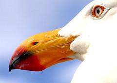 Beak Detail. by Stephen Mitchell, on Flickr