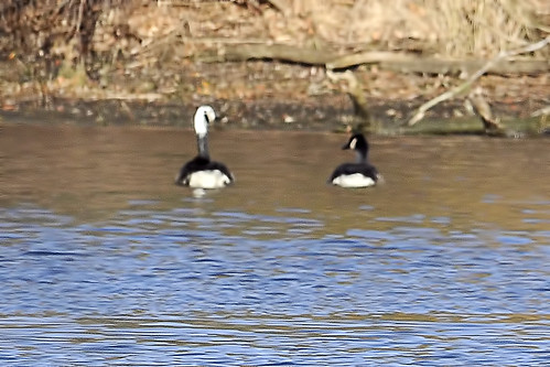 white headed canada goose 3