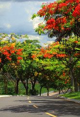 Follow the Poinciana Tree Road (osvaldoeaf) Tags: road city trip travel flowers trees light red brazil sky urban sun tree nature grass skyline clouds speed fence landscape drive strada path horizon blossoms estrada journey freeway cerrado flamboyant goinia gois poinciana wonderfulworldofflowers