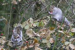 Bartons 11th dec 065 (Keithsnaturalworld) Tags: nature birds squirrels wildlife bartons