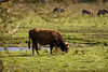 _MG_3225.jpg (WHaselbarg) Tags: nature animals wildlife nederland thenetherlands natuur dieren flevoland wildanimals oostvaardersplassen wildedieren heckrunderen wildcows wildekoeien workshopvanstevenruiter
