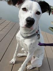 Hey, Soul Sister (LisaKurr) Tags: dog white lake black mutt dock boxer spotted tori mixedbreed dalmatian