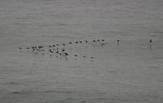 Low Flying Formation (dcnelson1898) Tags: ocean california cormorants coast flock pacificocean sangregorio sanmateocounty vformation pomponiostatebeach d300s