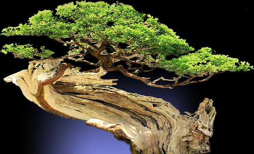"""Bonsai002 • <a style=""""font-size:0.8em;"""" href=""""http://www.flickr.com/photos/30735181@N00/5261955308/"""" target=""""_blank"""">View on Flickr</a>"""
