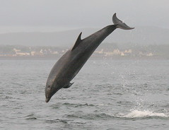 Breaching Bottlenose (Ally.Kemp) Tags: wild point scotland marine dolphin free scottish dolphins mammals leaping breaching moray rosemarkie blackisle firth chanonry bottlenose fortrose rossshire