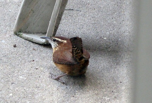 Carolina Wren in Falls Church, VA