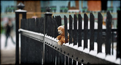 oh, oh! (marianna a.) Tags: bear street city winter urban brown stuffedtoy snow canada black abandoned fence walking toy found lost person interesting iron montral teddy little quebec bokeh painted small perspective plush panasonic explore forgotten friday marianna childstoy rungs armata eplore explored lumixg1 metroblinks fencedfriday mariannaarmata